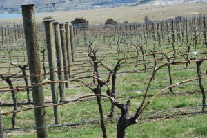 "Uniquely pruned vines in our ""Fruit Bowl"" where dual cordons help manage vigour."